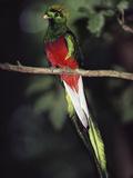 Resplendent Quetzal (Pharomachrus Mocinno) Male  Monteverde Cloud Forest Reserve  Costa Rica