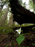 A Trillium Flower Along Ten Taypo Trail