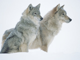 Timber Wolf (Canis Lupus) Portrait of Pair Sitting in Snow  North America