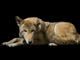 A Red Wolf  Canis Rufus Gregoryi  Lying Down