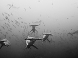 Hammerhead Shark School around a Seamount Deep Below the Surface