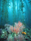Giant Kelp (Macrocystis Pyrifera) Forest with Garibaldi  Channel Islands National Park  California