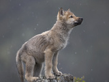 Gray Wolf (Canis Lupus) Pup in Light Snowfall  North America