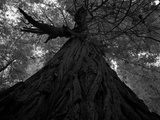 An over 300 Foot Giant Redwood Tree