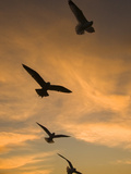 Mew Gull (Larus Canus) Group Silhouetted at Sunset in La Jolla  California