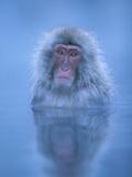 Japanese Macaque (Macaca Fuscata) Bathing in Hot Springs  Joshinetsu Plateau Nat'l Park  Japan