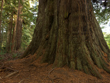 A Redwood Tree on Foothill Trail in Prairie Creek Redwoods State Park