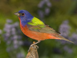 Painted Bunting (Passerina Ciris) Male  Rio Grande Valley  Texas