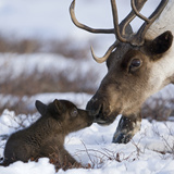 Caribou (Rangifer Tarandus) Mother and Calf Nuzzling  Kamchatka  Russia