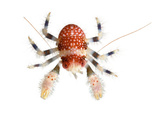 A Squat Lobster Collected from a Sample of Coral Reef Papier Photo par David Liittschwager