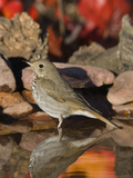 Hermit Thrush (Catharus Guttatus) Standing in Water  Santa Rita Mountains  Arizona