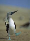 Blue-Footed Booby (Sula Nebouxii) Courtship Dance  Lobos De Tierra Island  Peru