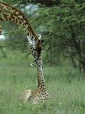 Giraffe (Giraffa Camelopardalis) Newborn Calf and Mother  Ngorongoro Conservation Area  Tanzania