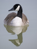 Close Up of a Canada Goose (Branta Canadensis) in a Pond