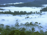 Canopy of Lowland Rainforest at Dawn with Fog  Danum Valley Conservation Area  Borneo  Malaysia