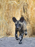 African Wild Dog (Lycaon Pictus) Six to Eight Week Old Pup Running  Okavango Delta  Botswana