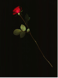 A Single Red Rose Against a Black Background