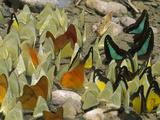 Pierid Butterfly (Pieridae)  Different Species  Gunung Leuser Nat'l Park  Sumatra  Indonesia