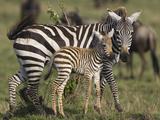 Burchell's Zebra (Equus Burchellii) Mother and Foal  Masai Mara  Kenya