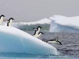 Adelie Penguin (Pygoscelis Adeliae) Diving Off Iceberg  Paulet Island  Antarctica