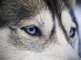 The Wolf-Like Stare of a Siberian Husky Sled Dog with Very Blue Eyes