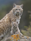 Bobcat (Lynx Rufus) Mother and Kitten  North America