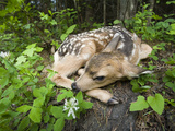 Mule Deer (Odocoileus Hemionus) Newborn Fawn Hides in the Forest  Siuslaw Nat'l Forest  Oregon