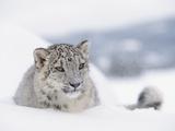 Snow Leopard (Uncia Uncia) Adult Portrait in Snow  Endangered