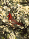 Northern Cardinal (CardinalisCardinalis) in Beach Plum (PrunusMaritima) Tree  Long Island  New York