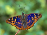 Lesser Purple Emperor (Apatura Ilia) Butterfly  Switzerland