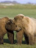Grizzly Bear (Ursus Arctos Horribilis) Pair Courting  Katmai Nat'l Park  Alaska