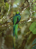 Resplendent Quetzal (Pharomachrus Mocinno) Female Perching in a Tree  Costa Rica