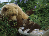 Grizzly Bear (Ursus Arctos Horribilis) Mother and Cubs  Katmai Nat'l Park  Alaska