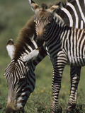 Burchell's Zebra (Equus Burchellii) Foal with Mother  Ngorongoro Conservation Area  Tanzania