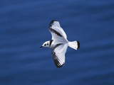 Black-Legged Kittiwake (Larus Tridactyla) Juvenile in Flight  Newfoundland