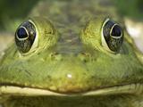 American Bullfrog (Rana Catesbeiana) Portrait  Reserva Natural Laguna De Sonso  Colombia