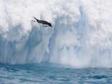 Adelie Penguin (Pygoscelis Adeliae) Diving Off of Iceberg  Paulet Island  Antarctica