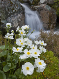 Great Mountain Buttercup (Ranunculus Lyallii) Beside Upper Whitcombe River  Canterbury  New Zealand
