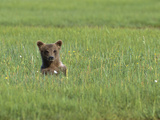 Grizzly Bear (Ursus Arctos Horribilis) Cub in Sedge Grass  Katmai Nat'l Park  Alaska