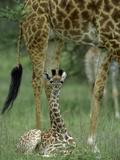 Giraffe (Giraffa Camelopardalis) Newborn Calf  Ngorongoro Conservation Area  Tanzania