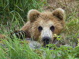Brown Bear (Ursus Arctos) Cub  Kamchatka  Russia