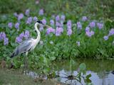 White-Necked Heron (Ardea Cocoi) Pantanal  Brazil