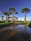 Grandidier's Baobab (Adansonia Grandidieri) Forest Lining Road Near Morondava  Madagascar