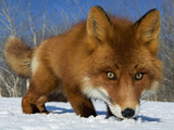 Red Fox (Vulpes Vulpes) Smelling Snow  Kamchatka  Russia