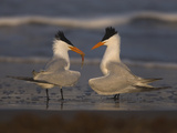 Royal Tern (Sterna Maxima) in Food Exchange Part of Courtship Display  Rio Grande Valley  Texas