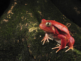 Tomato Frog (Dyscophus Antongilii)  Rare  Only Found in the Town of Maroantsetra  Madagascar