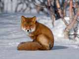 Red Fox (Vulpes Vulpes) Sitting on Snow  Kamchatka  Russia