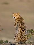 Cheetah (Acinonyx Jubatus) Female  Maasai Mara Reserve  Kenya