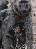 Olive Baboon (PapioAnubis) Female Grooming Mother with Infant  Gombe Stream Chimp Reserve  Tanzania