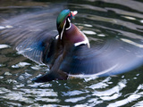 Wood Duck (Aix Sponsa) Flapping Wings in Water  North America